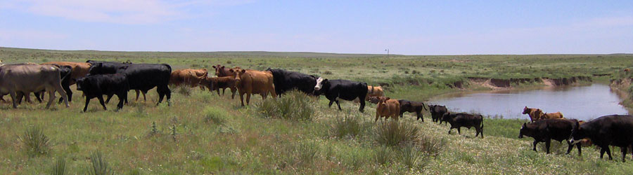 Cattle management strategies that aim at rangeland and economic sustainability.