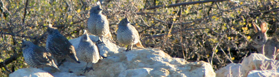 Quail populations stand to benefit from sound rangeland management that we provide.